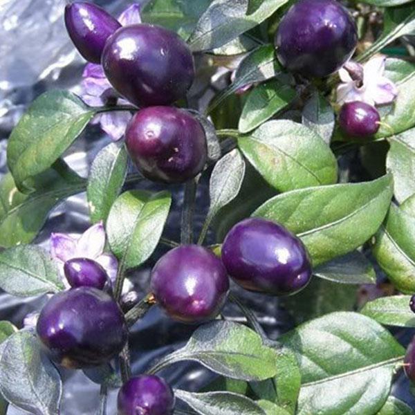 Peruvian Purple Pepper